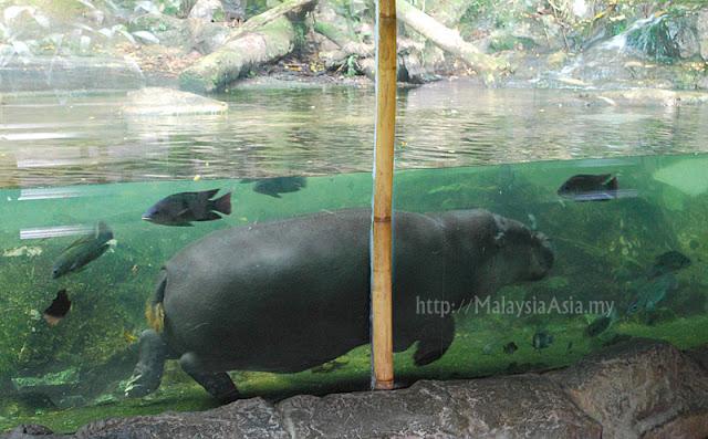 Singapore Zoo Hippopotamus