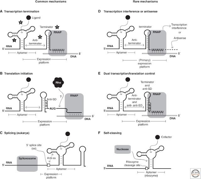 Riboswitches mechanisms of action