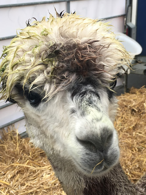 Alpaca at Stow Cotswold Festival