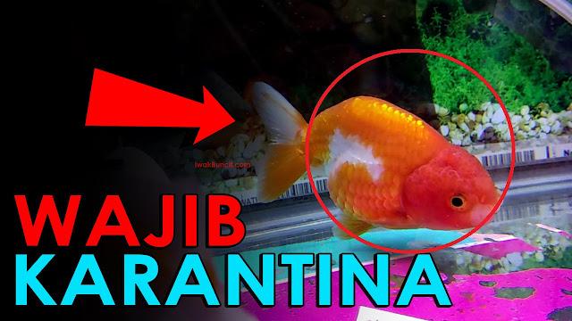 5 Ciri-Ciri Ikan Mas Koki yang Wajib Dikarantina Kalau Terlambat, Bisa Mati!