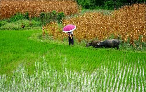 Cánh đồng lúa Việt Nam: xanh - chín vàng