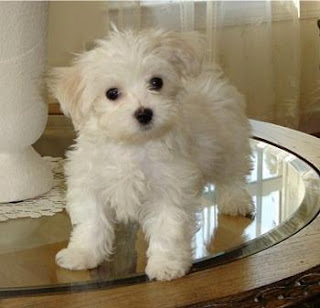 brown maltese dog cute puppy dogs brown maltese puppy 3137