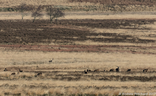 A large group of deer with hinds and roaring stag are being watched from the long grass by a another, patient stag.