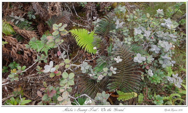 Alaka'i  Swamp Trail: On the Ground