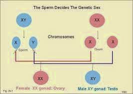 Human dna and sexual differentiation essay