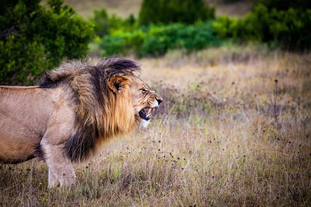 21 Fakta Singa Yang Unik dan Menarik untuk menambah wawasan