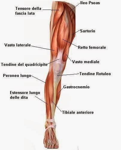 muscoli delle cosce