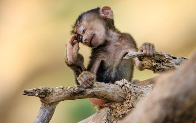 Hình ảnh loài khỉ đẹp ngộ nghĩnh, tinh nghịch nhất