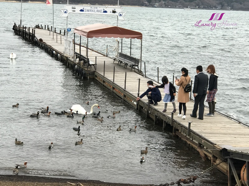 lake yamanakako swan feeding activity
