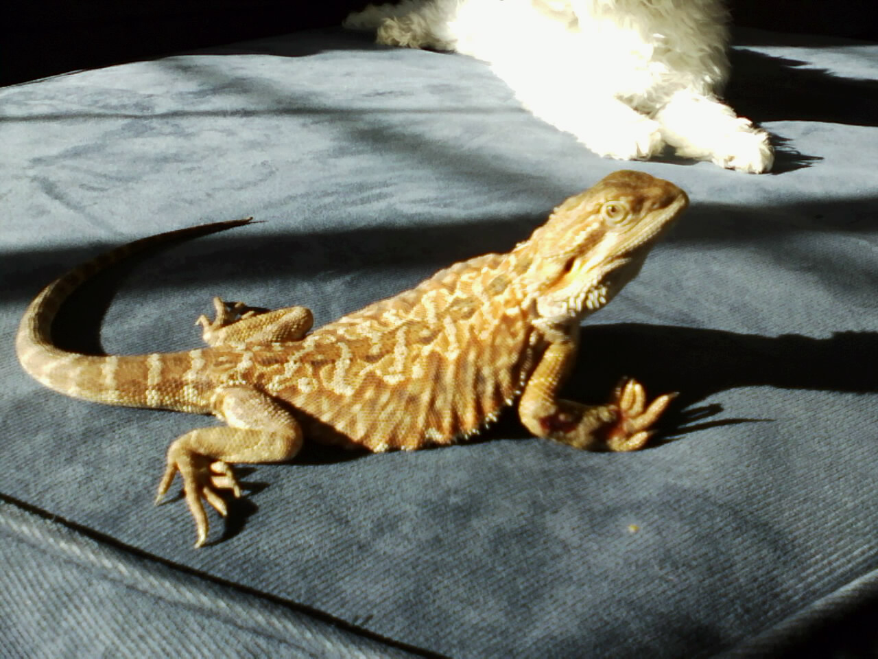 Sarah S Bearded Dragon Rescue Nigel My Very First And