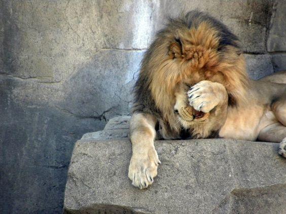 Lion%2Bfacepalm.jpg
