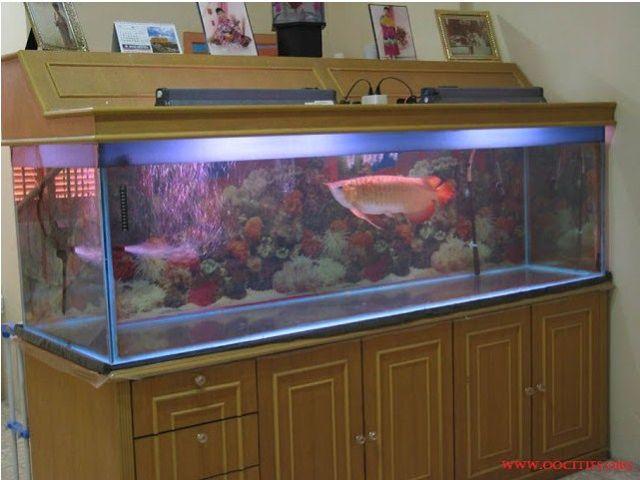Merawat Serta Memelihara Ikan Arwana Dalam Aquarium