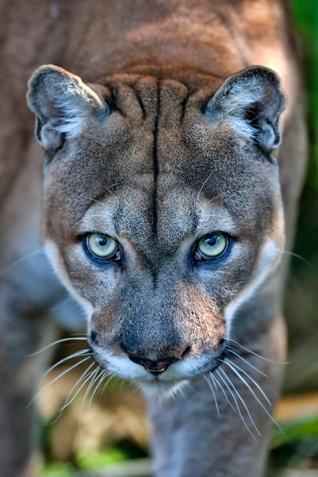 Raubkatze Puma Rätsel