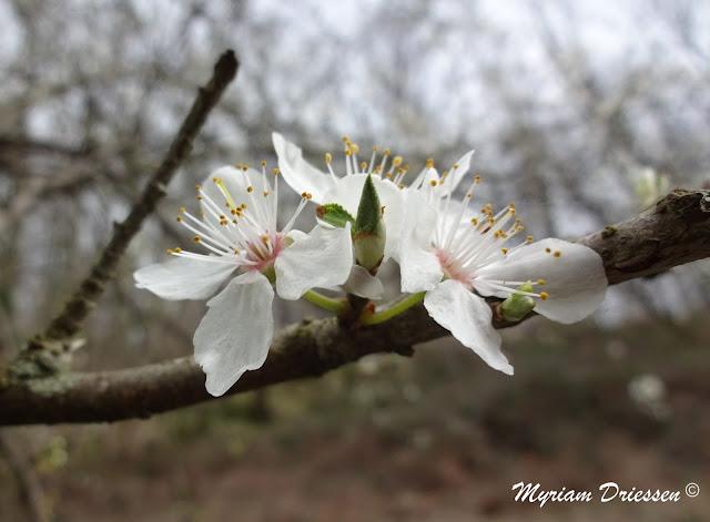 fleurs de prunier Montagne Noire Tarn