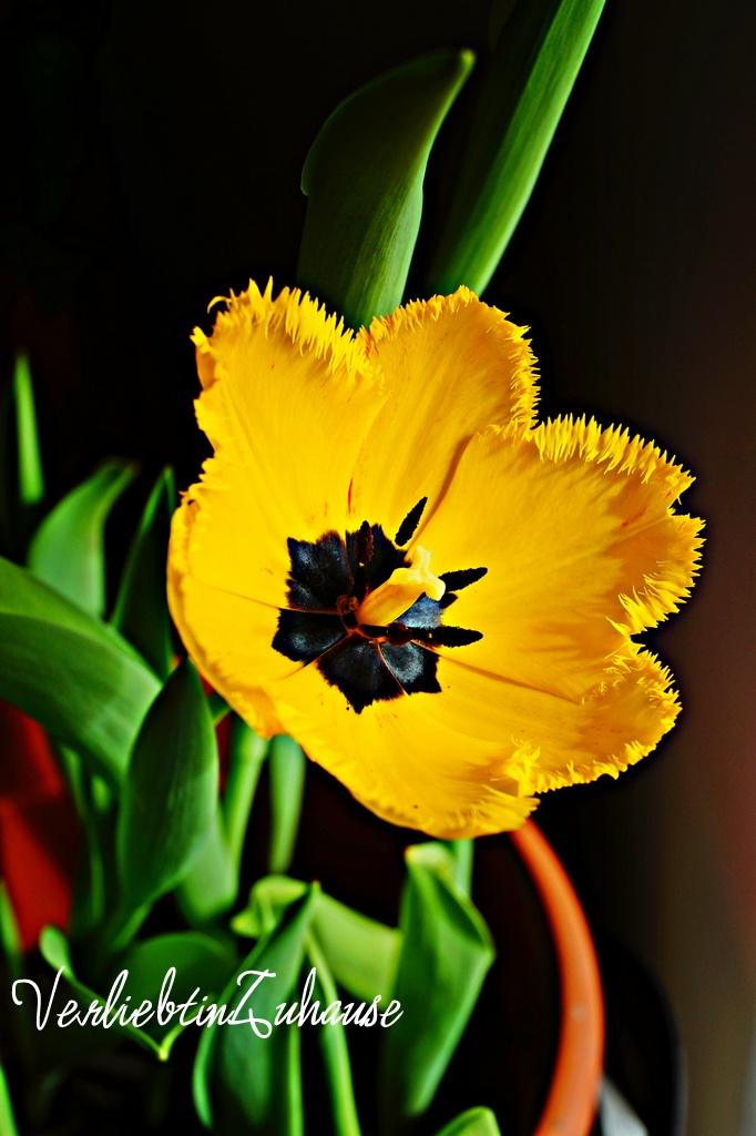 Fotoshoot gelbe Tulpe mit schwarzem Hintergrund