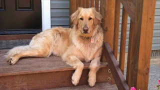 Young Retriever died at Petco