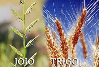 Joio ou trigo?