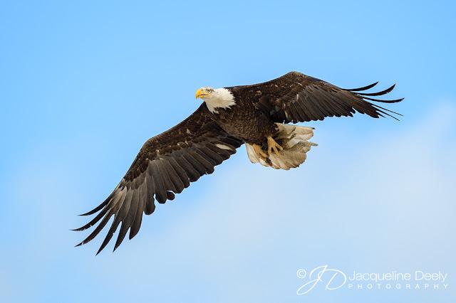 Bald Eagle with Prey