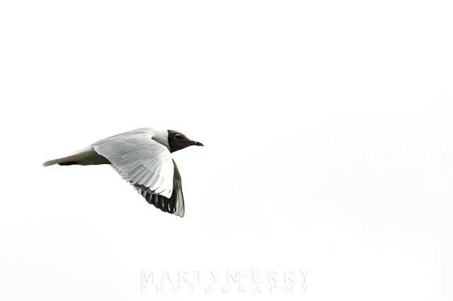 Wildlife shot of a Black-headed gull flying past white skies at Ouse Fen