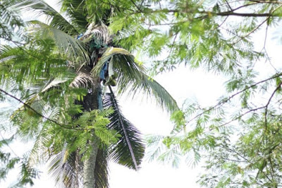 Unbelievable: Photo of Man who spent 3 years Living on Top of a Tall Coconut Tree