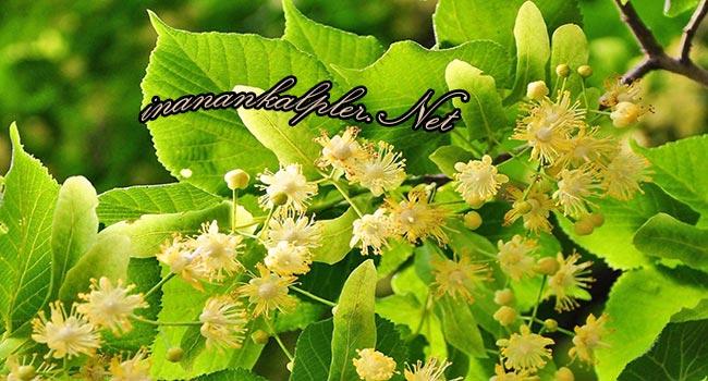 Ihlamurun Sağlığa Faydaları - www.inanankalpler.net