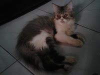 Cara Mudah Merawat Kucing Persia Bagi Pemula