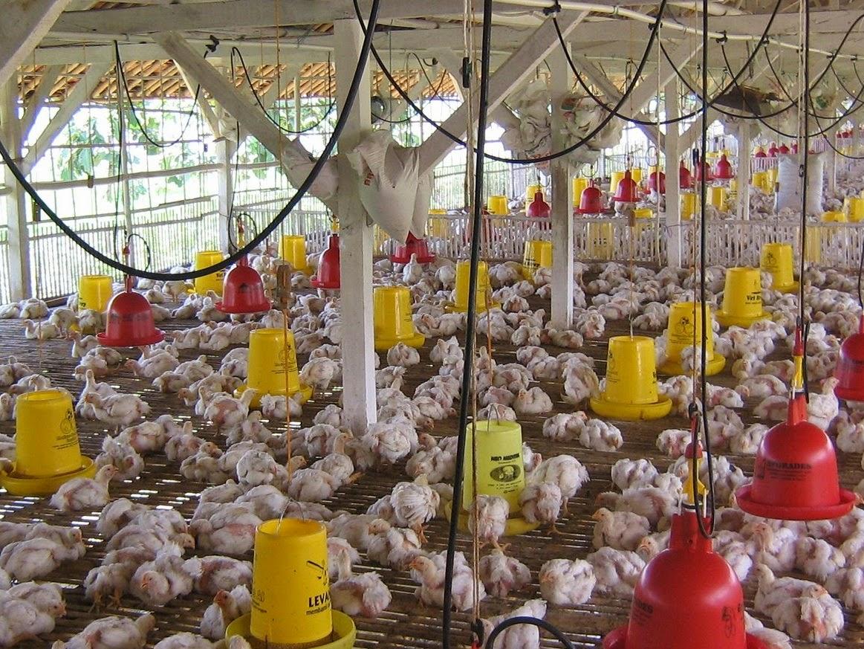 INDO POST: Mudahnya Beternak Ayam Potong / Pedaging / Broiler