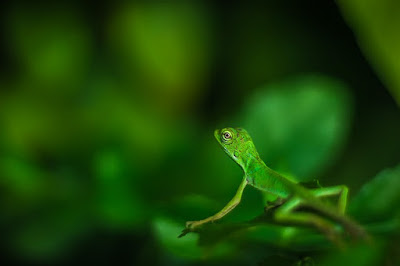 Cara Menjinakkan anak Iguana