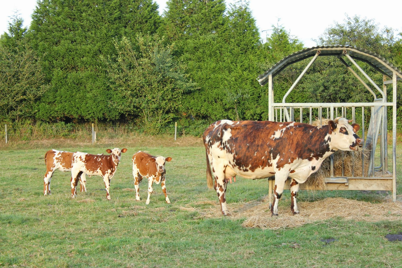 Normandy ancient breed cows and calves