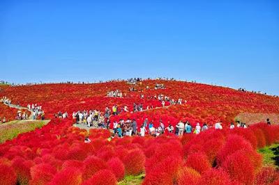Bunga Kochia - Jepang