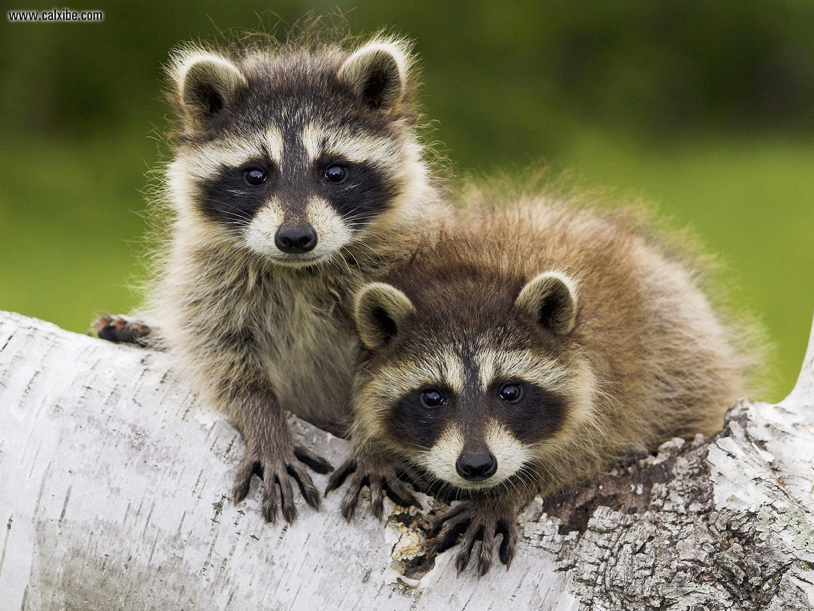 all about animals: Raccoons
