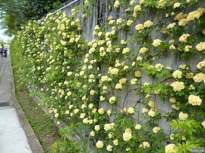 薔薇園入口通りの薔薇