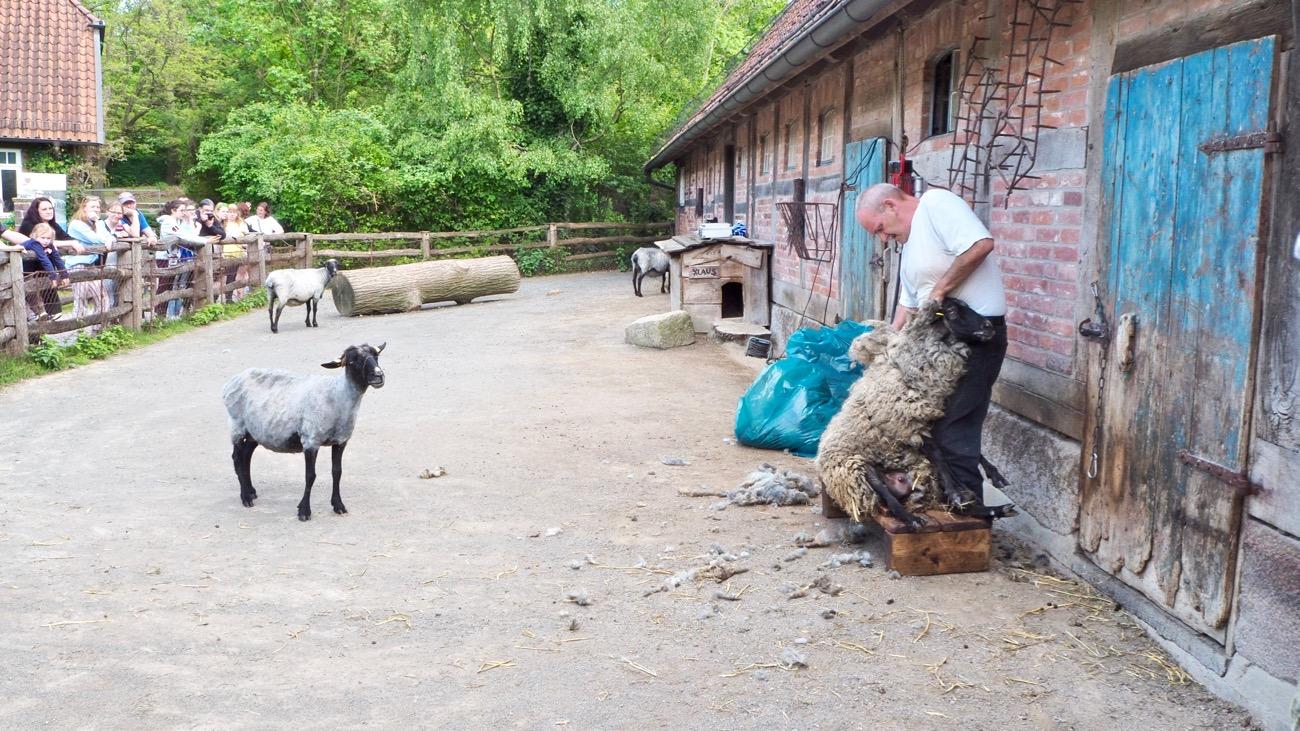 Schafschur im Zoo Hannover
