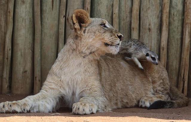 Real Life Simba And Timon Amazing Creatures