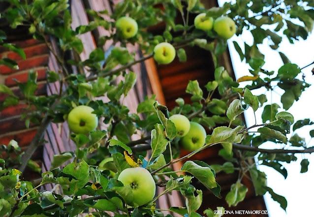 jabłoń ogród wiejski