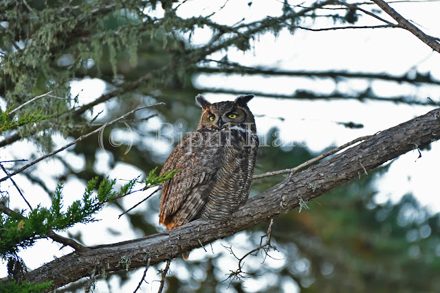 Great Horned Owl Just Woke Up