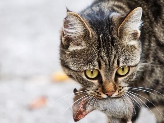 Dlaczego koty przynoszą nam upolowane przez siebie gryzonie?