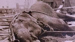 Triste fin de un elefante maltratado