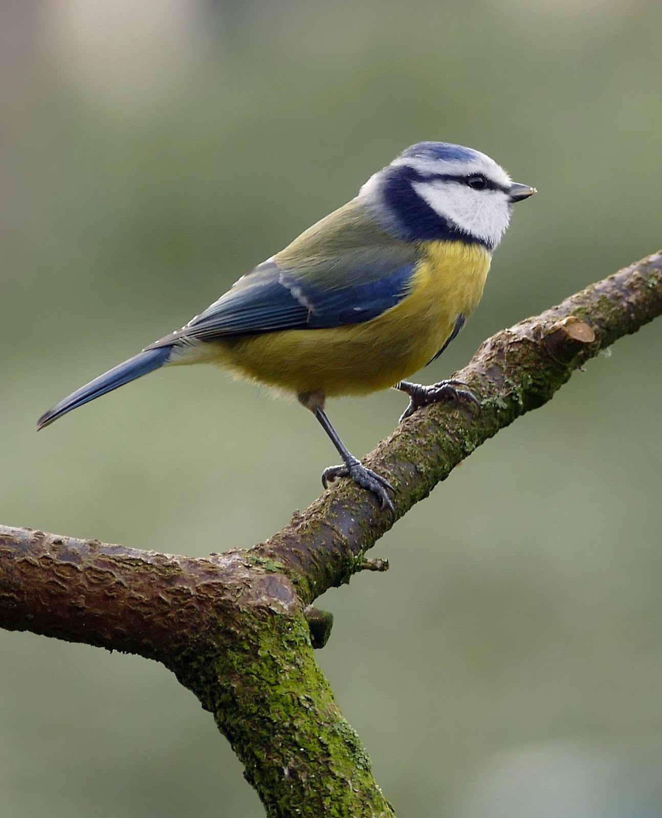 Picture of a blue tit.
