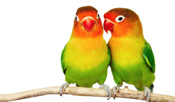 menjaga birahi lovebird