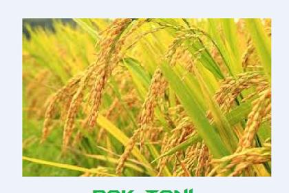 Jarang diketahui.. Cara rahasia pembuatan bibit padi sendiri, bisa sampai 10 ton/ha.