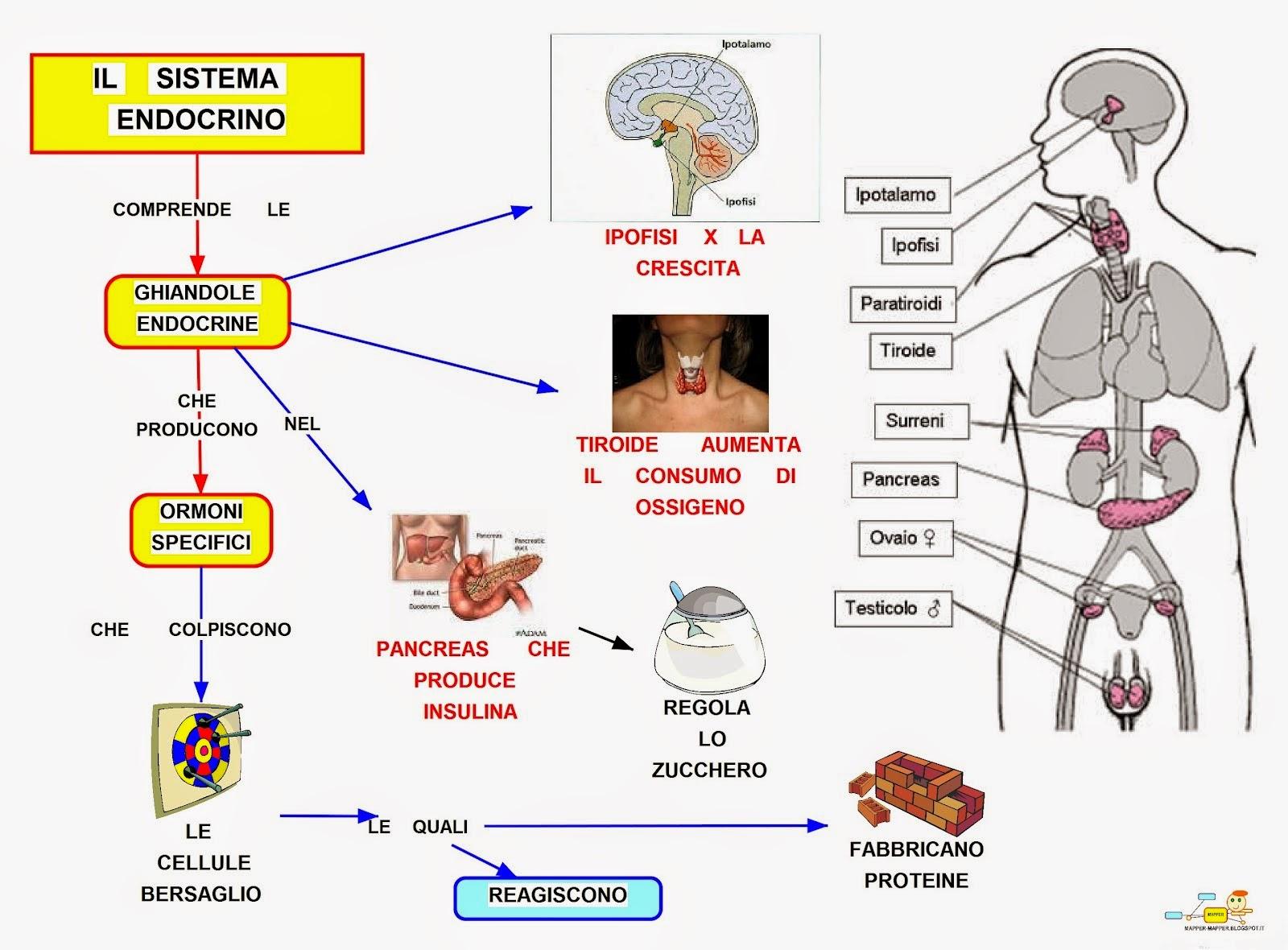 Magnífico Hechos Del Sistema Endocrino Bandera - Anatomía de Las ...