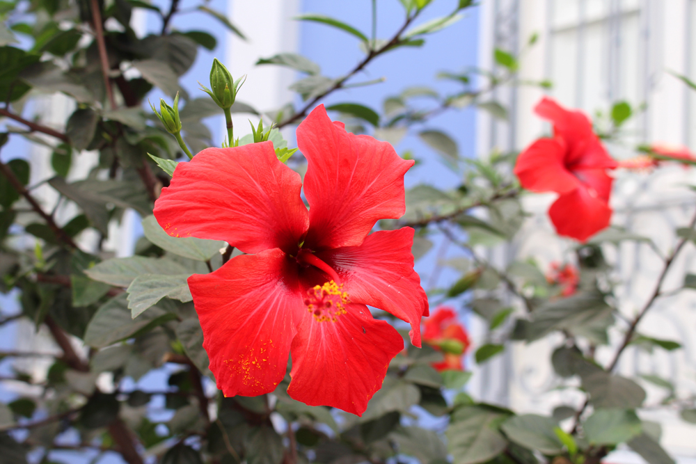 Hibiscus flowers in Miraflores, Lima, Peru - travel blog