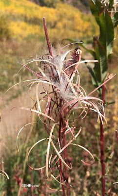 seed pods, fireweed
