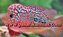 Jual Anakan Ikan Louhan Kamfa Murah