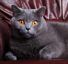 Razas de gatos brasileno de pelo corto