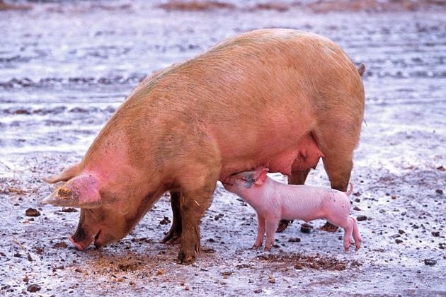 Se descubre un nuevo tratamiento para bajar el colesterol en cerdos