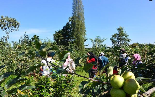 Mengunjungi kebun apel di desa Poncokusumo, Malang