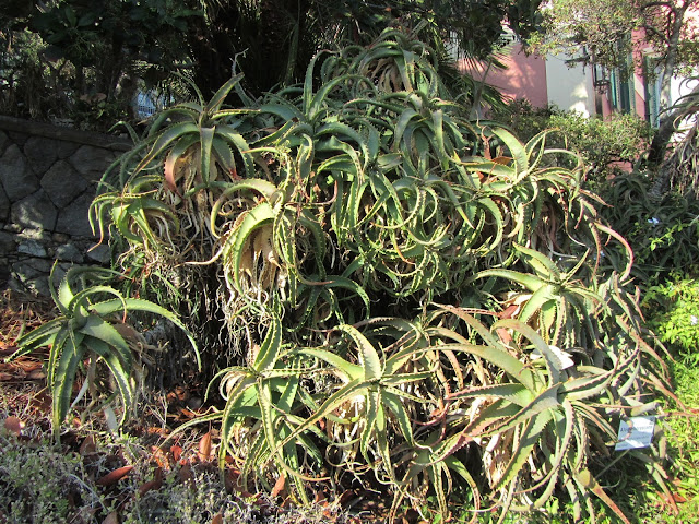 Aloe arborescens in Estate