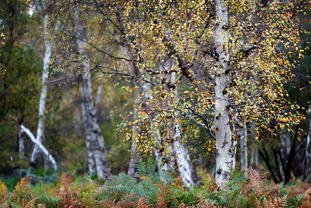 Silver birch tree stands in focus in front of a woodland in Cambridgeshire
